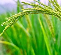 Nutrición y Salud. El arroz, un cereal con muchas posibilidades. El arroz, un cereal con muchas posibilidades