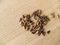 cardo mariano-semillas