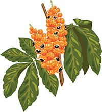 aliados-naturales-primavera-guarana