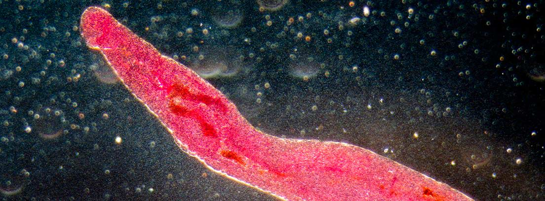 parásito de la bilharziasis o esquistosomiasis