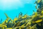 algas flotando en el mar nutrientes