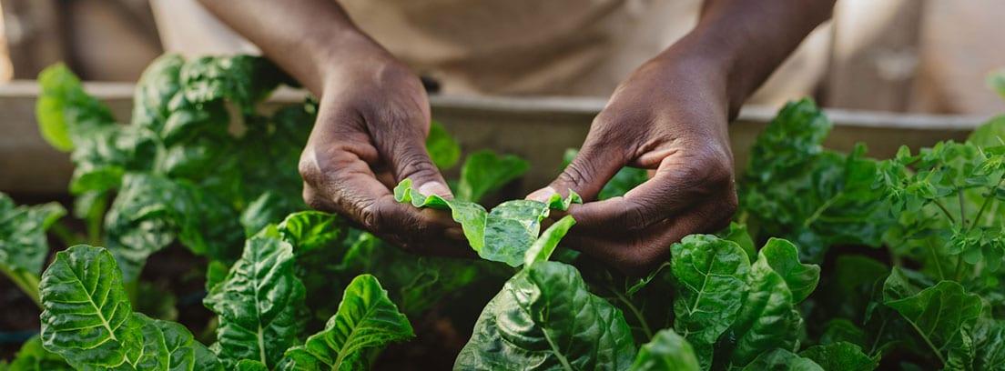 beneficios de las espinacas: manos de mujer limpiando espinacas