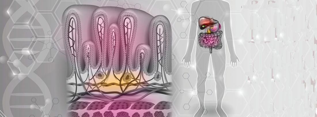 ¿QUÉ ES EL COMPLEJO MOTOR MIGRATORIO (CMM)?: glándula gástrica