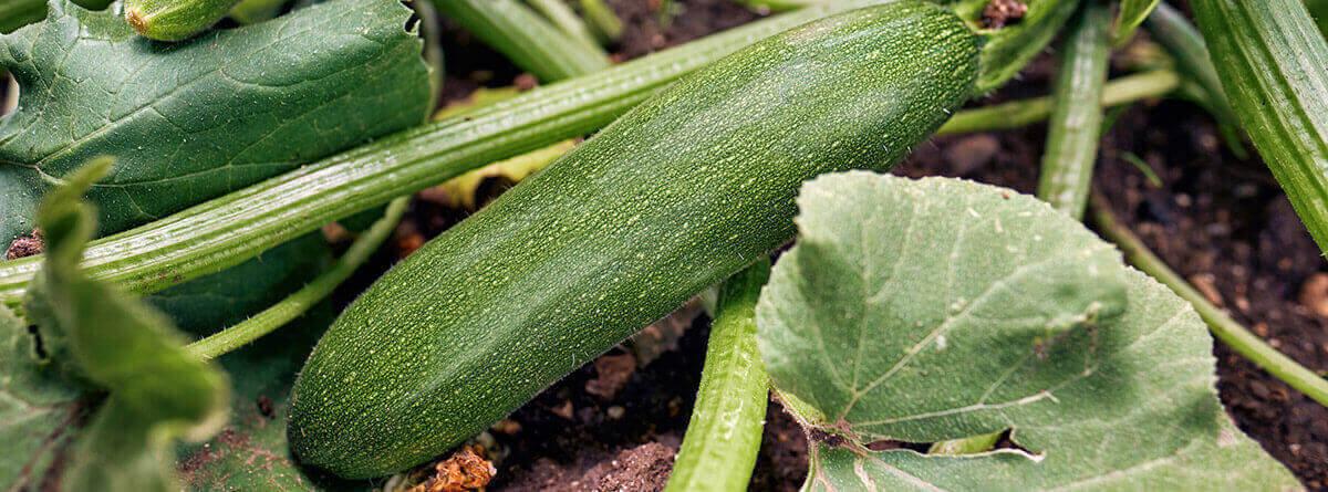 Beneficios del calabacín para la salud: planta del calabacín